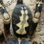 P.subfusca Weibchen adult