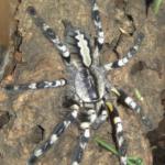 Poecilotheria regalis Weibchen