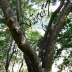 Lebensraum Kerala (Indien) Poecilotheria regalis (Foto: Dr.H.Krehenwinkel)