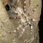 P.tigrinawesseli im Lebensraum (Foto: Dr.H.Krehenwinkel)