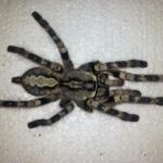 Poecilotheria vittata adultes Weibchen