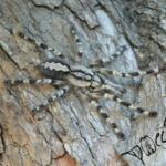 Poecilotheria hanumavilasumica (Foto: Dr.H.Krehenwinkel)