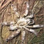 P.miranda im Habitat (Foto: Dr.H.Krehenwinkel)