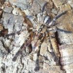 P.ornata Weibchen