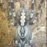 Poecilotheria smithi adultes Weibchen