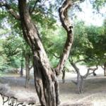 Wohnbaum P.hanumavilasumiva (Foto: Dr.H.Krehenwinkel)
