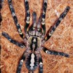 Poecilotheria ornata adultes Weibchen