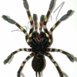 Poecilotheria rufilata ventral (Foto: Dr.H.Krehenwinkel)