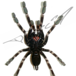 Poecilotheria subfusca ventral (Foto: Dr.H.Krehenwinkel)