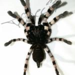 Poecilotheria tigrinawesseli ventral (Foto:Dr.H.Krehenwinkel)