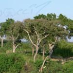 Lebensraum von Poecilotheria fasciata (Foto: Dr.H.Krehenwinkel)