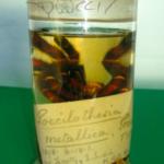 Poecilotheria metallica Typusmaterial (Foto: E.Hijmensen)