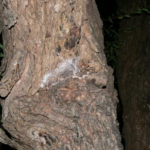 P.hnumavilasumica in einer Wohnröhre (Foto: Dr.H.Krehenwinkel)