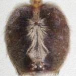 Carapax Poecilotheria metallica