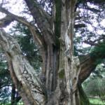 bewohnter Baum P.subfusca (Foto:H.Krehenwinkel)