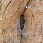 Zugesponnene Wohnröhre von P.metallica (Foto: Dr.H.Krehenwinkel)
