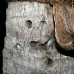 Wohnbaum von P.fasciata (Foto: Dr.H.Krehenwinkel)