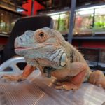Iguana iguana (grüner Leguan) Vitali