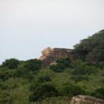 Raubkatze auf dem Felsen im Lebensraum von P.Vittata (Foto: V.Harport)