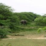 Elefant im Lebensraum von P.vittata (Foto: V.Harport)