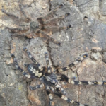 Poecilotheria subfusca adultes Paar