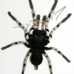 P.vittata ventral (Foto: Dr.H.Krehenwinkel)