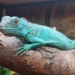 Iguana iguana (blauer Leguan)