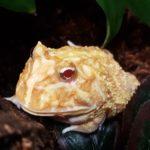 Ceratophrys cranwelli (Albino Schmuckhornfrosch)