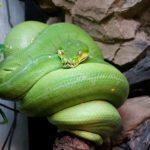 Morelia viridis Lokalform Lereh (grüner Baumpython)