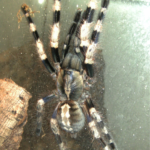 Poecilotheria miranda adultes Weibchen