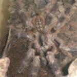 Poecilotheria miranda adultes Männchen