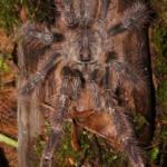 Poecilotheria striata adultes Männchen