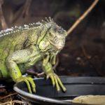 Iguana iguana (grüner Leguan) Maggie