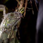 Iguana iguana (grüner Leguan) Emma