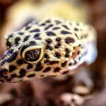 Eublepharis macularius (Leopardgecko) Foto:Strolchfoto