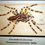 Abbildung von P.fasciata im Senckenberg Museum FfM