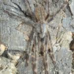 P.hanumavilasumica adultes Männchen