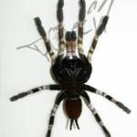 Poecilotheria smithi Weibchen ventral (Foto: Dr.H.Krehenwinkel)