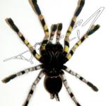 Poecilotheria striata ventral (Foto: Dr.H.Krehenwinkel)