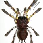 Poecilotheri hanumavilasumica ventral (Foto: Dr.H.Krehenwinkel)