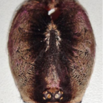 Carapax Poecilotheria striata