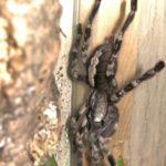 P.vittata adultes Weibchen