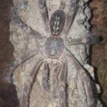 P.spec. lowland adultes Männchen