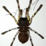 Poecilotheria fasciata ventral (Foto: Dr.H.Krehenwinkel)