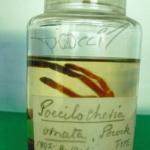 P.ornata Typusmaterial (Foto:E.Hijmensen)