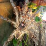 P.spec. lowland adultes Männchen ventral
