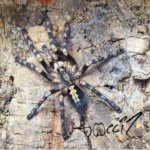 Poecilotheria adultes Weibchen