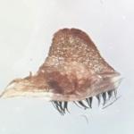 Spermathek Poecilotheria smithi