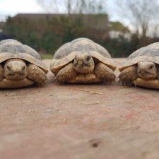 Diese 3 Breitrandschildkröten sind nach einer Trennung zu mir gekommen und leben inzwischen in einem schönen Gehege bei einer Familie