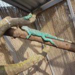 Blaue Leguane beim Sonnenbad
